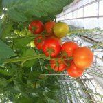 Stokdijk Greenhouses Ltd